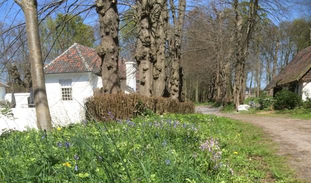 In de vroege lente staan diverse bol- en knolgewassen (stinzenplanten) en andere voorjaarsbloemen in bloei op het landgoed van Het Witte Kasteel.