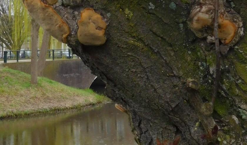 Een niet dodelijke parasiet is de boomgaardvuurzwam aan de Molengracht op een prunus langs de Berkel.