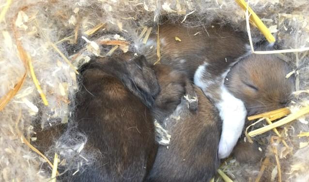 Drie van de vijf baby konijntjes in diepe slaap in hun warme en veilige nestje (foto: Nanda van Heteren)