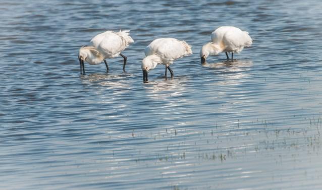 Onder andere deze lepelaars kan men tegenkomen in het natuurgebied Oude Maasbocht in Keent. De excursies beginnen om 12.00, 13.30 en 15.00 uur.Deelname is gratis en reserveren is niet nodig.