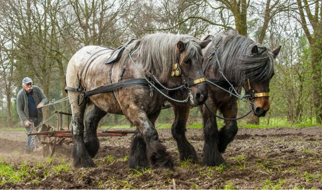 Gerrit Luiten aan de ploeg met zijn Gelderse paarden.