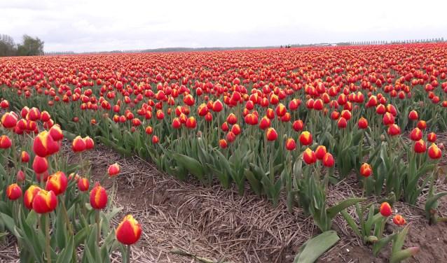 De tulpenvelden in de Noordoostpolder liggen er weer prachtig bij en zijn klaar voor de Tulpenfestivalroute.