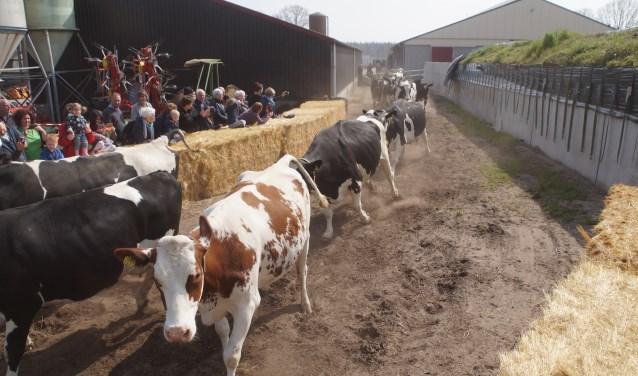 Land van Cuijk Boert Bewust ging van start met dansende koeien. (persfoto)