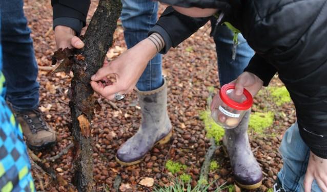 Boomstammen zijn een goeie vindplek voor insecten. De kinderen kijken aandachtig toe. FOTO: Christ-Jan Nederlof-IVN