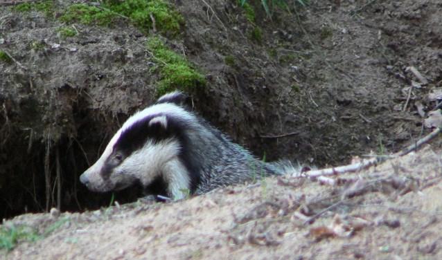 Op diverse plaatsen in de bossen van de gemeente Heusden zijn de afgelopen weken sporen aangetroffen van een groep rovers, de 'dassen' genoemd.