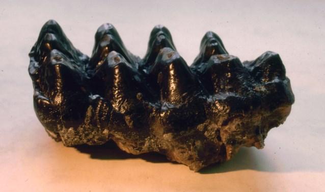 De kies van de mastodont gevonden in Liessel.
