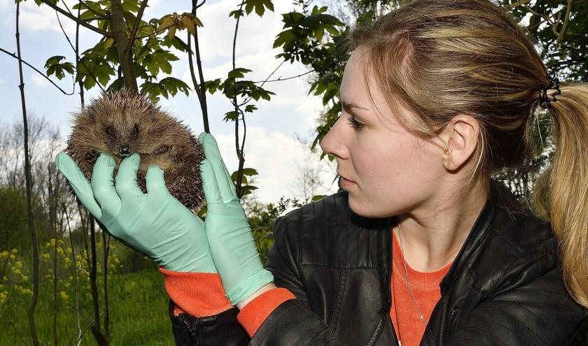 Anthira van Wensveen met een van de egels. (Foto: Jan van der Arend)