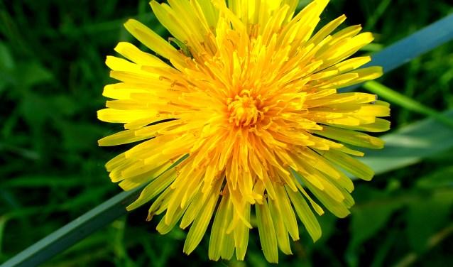 Veel smalle bloemblaadjes maken samen één mooie stralende ster: de 'bloem'van de paardenbloem. FOTO: Dré Verhagen.