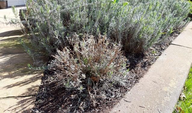 Vorstgevoelige planten kunnen nu worden gesnoeid. Te denken valt bijvoorbeeld aan lavendel.