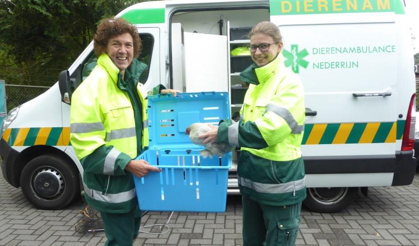 Carole en Marieke, met een gevonden kip uit Rhenen, bij de ambulance die vervangen moet worden. (foto: Marnix ten Brinke)