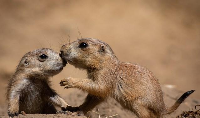 De jonge dieren die nu nieuwsgierig uit de burchten kruipen, zijn een paar weken oud.