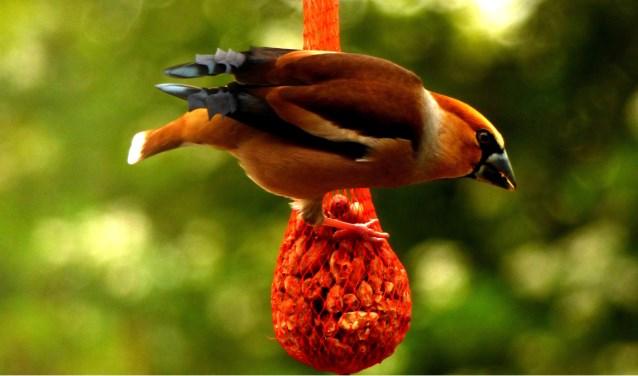 Appelvink eet de pinda's