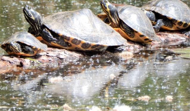 De schildpadden van de Kogelvanger