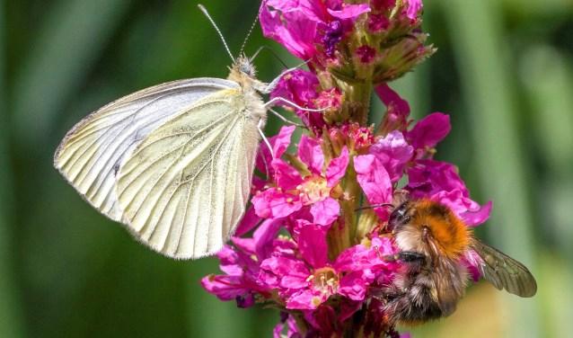 Vlinders in de tuin. Bron Operatie Steenbreek