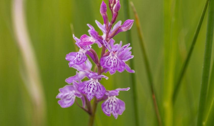 Gevlekte Orchis Foto: Natuurmonumenten-Michel Hol gevlekte orchis