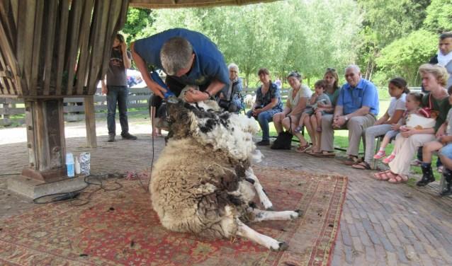 De schapen in Stroothuizen worden zondag van hun warme wintervacht bevrijd. Foto: Andreas Dijk