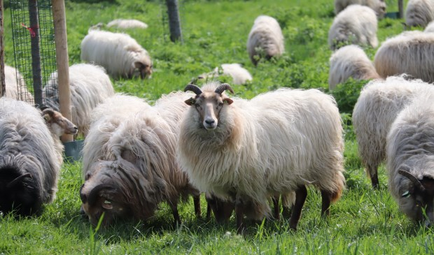 Deze foto maakte Gerda Dolderman toen de schapen nog ongestoord het gras kort konden eten in het Montfoortse park.