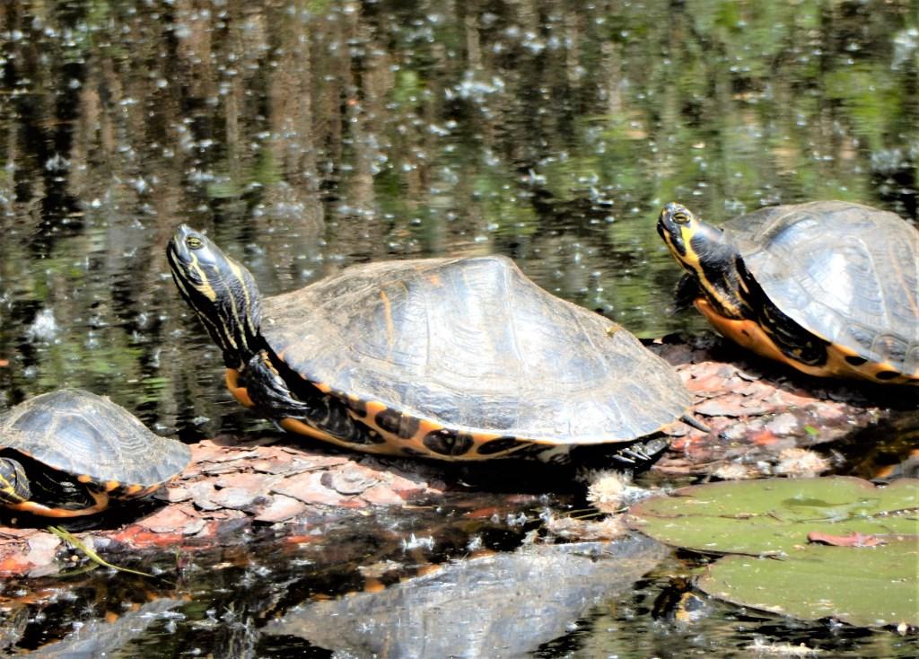 De schildpadden van de Kogelvanger Foto: Paul Hermans © Persgroep