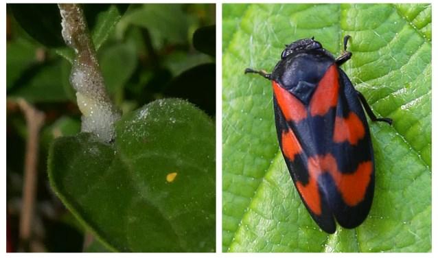 De onvolwassen nimf (links) en volwassen bloedcicade (Cercopis vulnerata), een algemene soort schuimcicade.