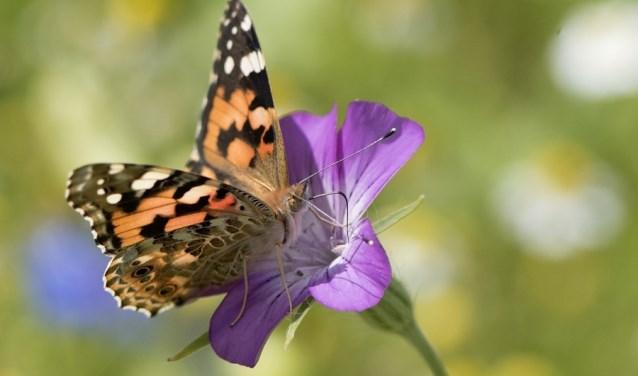 Hoe krijg je meer vlinders in de tuin? Dat is één van de vragen die aan bod komt tijdens de workshop biodiversiteit. (foto: Henk van den Burg)