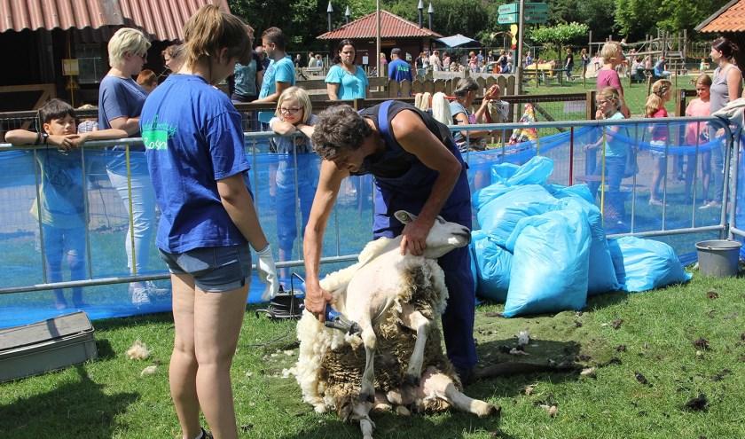 Op tweede pinksterdag trekken de schapen op Kinderboerderij Rosorum weer hun jasje uit! (foto: Koos Roelofs)