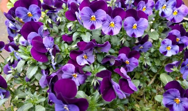 Groei en Bloei Vecht en Venen houdt in juni een tuinenexcursie.
