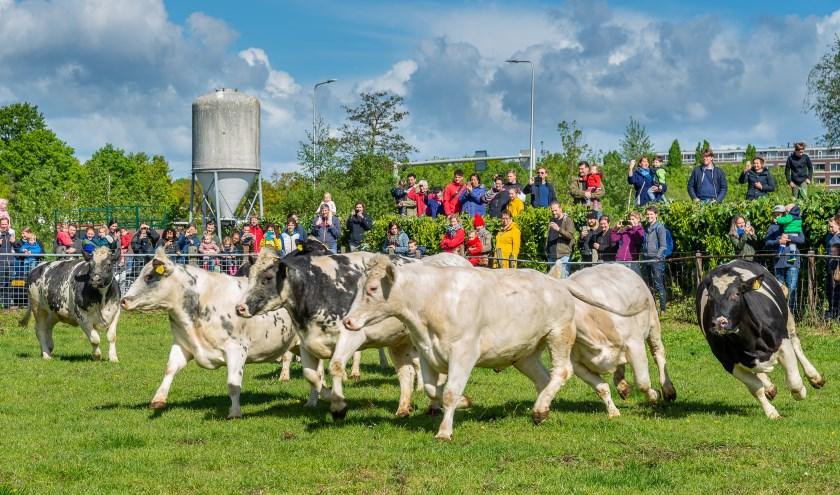 Koeiendans Nieuw Bureveld Hooierij De Bilt