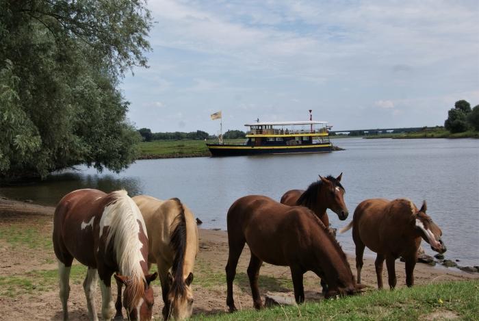Wilde paarden zoeken verkoeling in de uitlopers van de Rijn bij Jufferswaard, op de achtergrond ligt de Blauwe Bever aangemeerd.