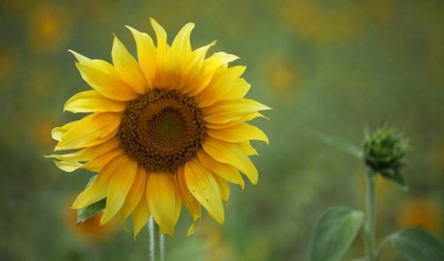 Vier scholen in Rijssen en Holten doen mee met de zonnebloem-actie.