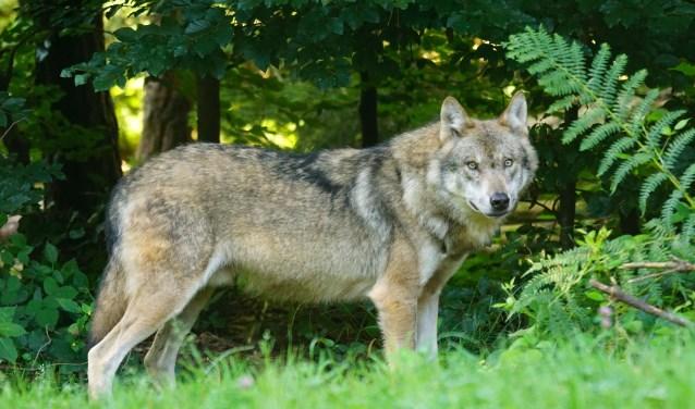 De wolf is herkenbaar aan de wit-zwart tekening rond de bek en de langgerekte staart.