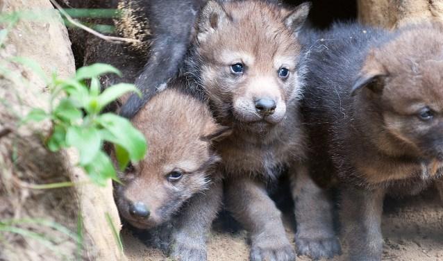 De eerste beelden van de pasgeboren kleine wolfjes. Foto: Henk Ruitenbeek Fotografie