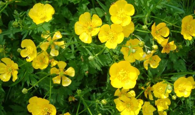 Tussen alle aanplant komen ook spontaan planten op die we zelf niet ingevoerd hebben. (foto: BuitenZinnig)