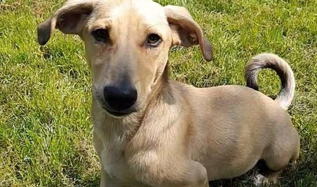 Elke week zet Dierenopvangtehuis De Bommelerwaard een dier in het zonnetje. Deze week is dat Bruno. Kijk voor meer informatie op www.dierenasiel-bommelerwaard.nl.
