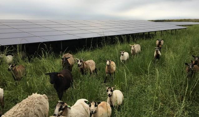 De panelen bieden de schapen beschutting tegen de verschillende weersomstandigheden, zoals regen en zon. FOTO: De Vrolijke Grazers.