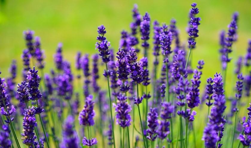 Lavendelstruikjes