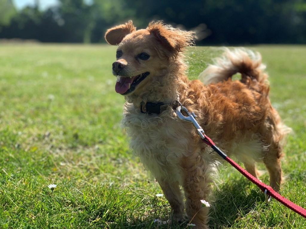Laika en Lassy zijn erg aanhankelijke hondjes die graag bij je komen zitten voor een kroelsessie.  © Persgroep
