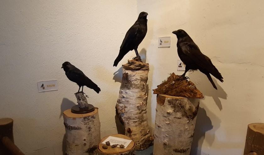 Raven bij De Maashorst.