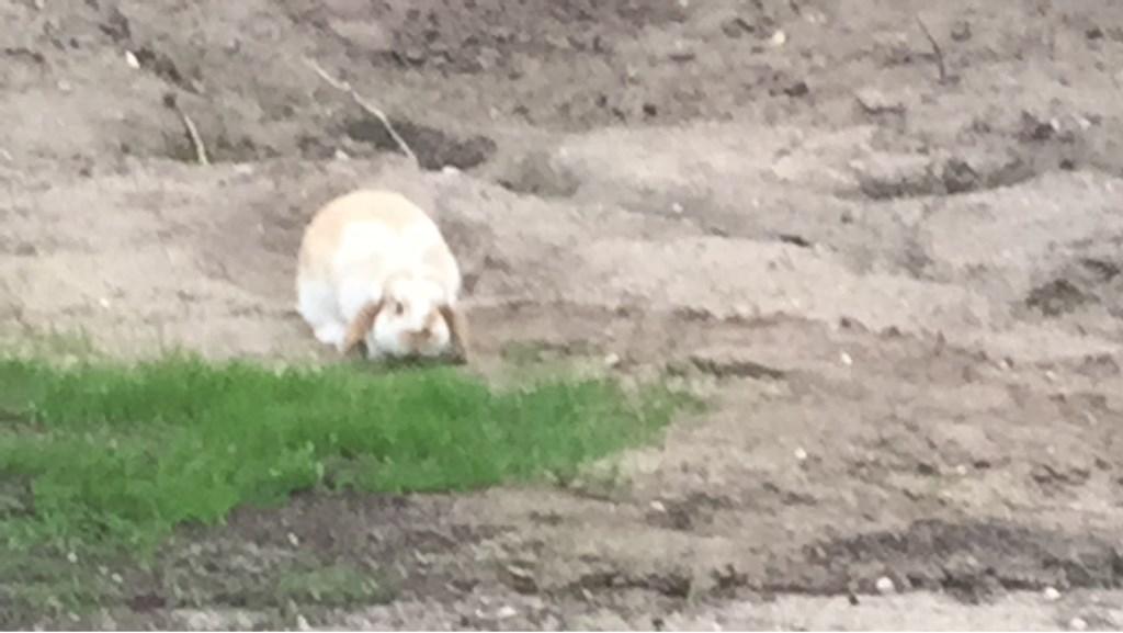 Vermist konijn Kostersland Ermelo Foto: eigenaar © Persgroep