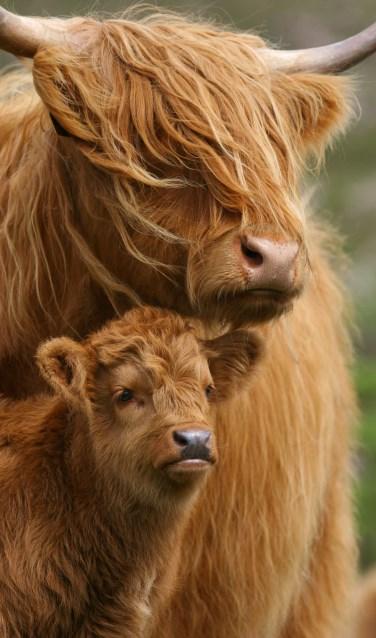 Schotse Hooglanders zien er niet alleen prachtig uit, ze helpen Natuurmonumenten ook met het beheer van het landschap.