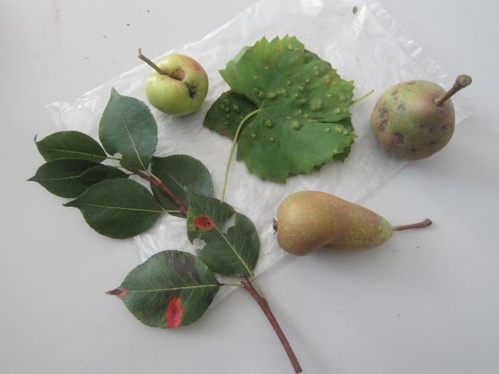 blad van ziek appel- en perenras