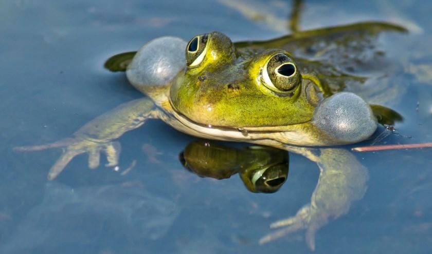 De kennis die Robert Arends over amfibieën heeft vergaard deelt hij in een IVN-lezing. Foto: M. van Kalsbeek