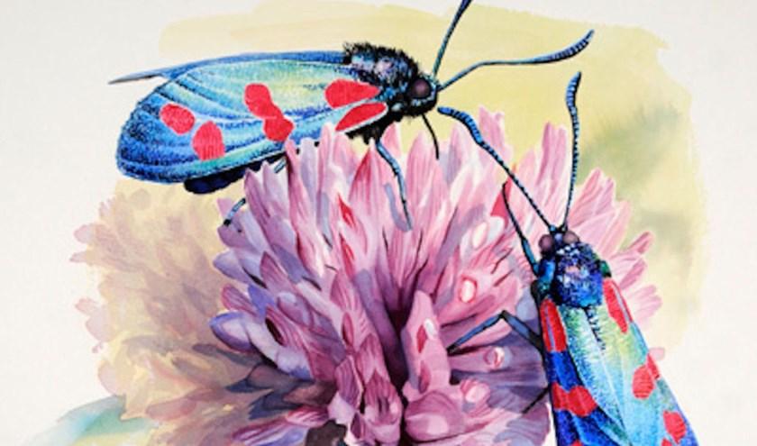Aquarel van een Sint-Jansvlinder. Door: Hans Geuze