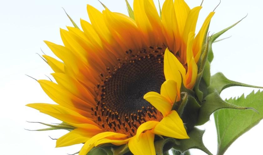 Bij  dit zonnige  weer   bloeitdeze  prachtige  zonnebloem  !