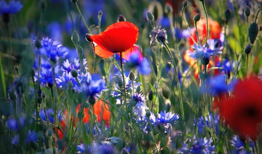 Eddy komt op zijn wandelingen bloemen tegen in prachtige kleuren.