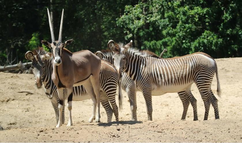 De eerste spiesbok, zoals de beisa oryx ook wel genoemd wordt, kwam drie weken geleden al naar het Amersfoortse dierenpark.