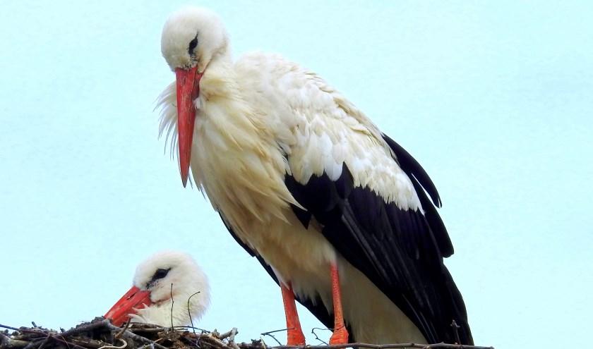 Moeder  en  kind  ooievaar,hoe prachtig is  dat  .