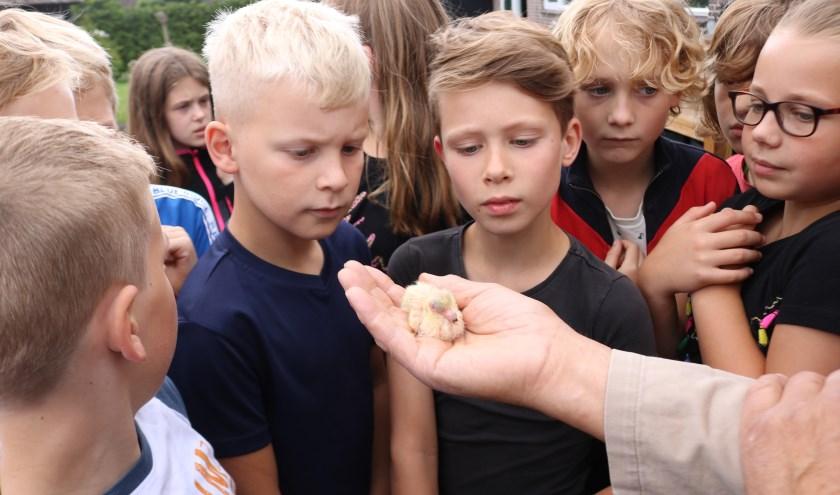Op de foto wordt de duifkuiken aan groep 6 getoond.