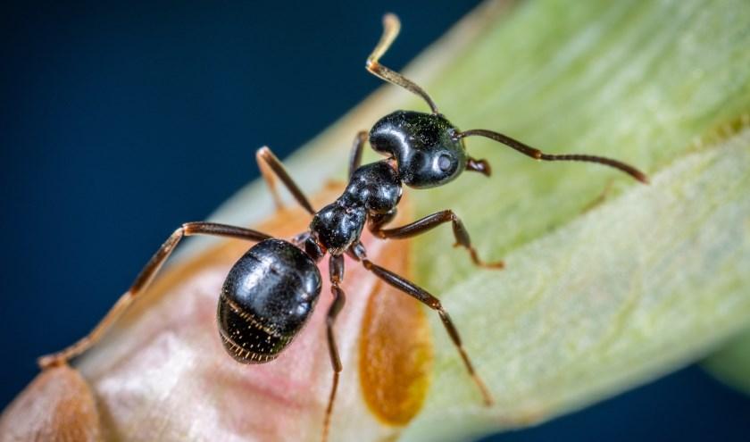 De mierensoort maakt nesten van honderden meters waarin zich miljoenen beesten kunnen bevinden.