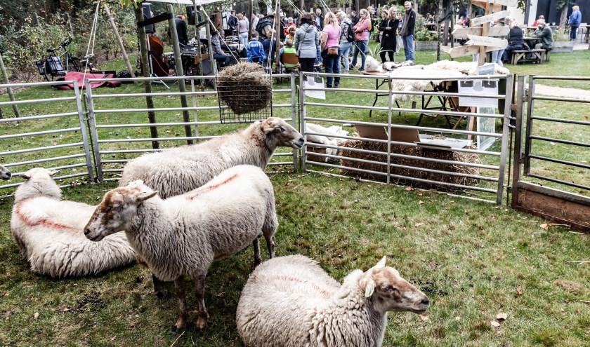 Tijdens de Oerweek loopt 't schapenvolk over de voormalige verbindingswegen in de Maashorst, de 'dreven en driften' van het Oergebied.