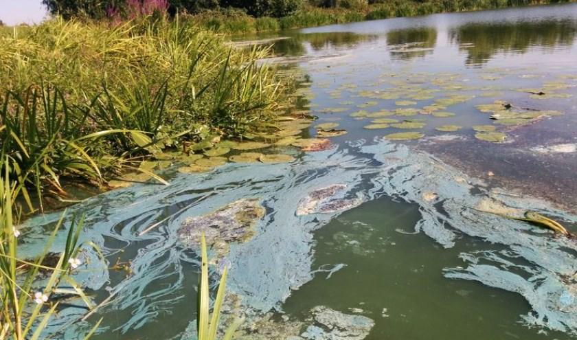 Waterschap Aa en Maas waarschuwt voor blauwalg.
